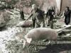Fine anni 80 - Si ammazza il maiale